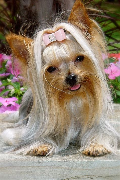 yorkie faq teacup yorkies for sale breeds picture