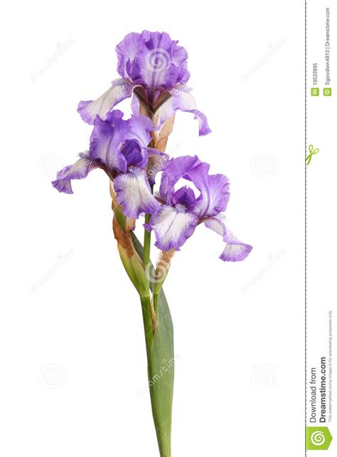 stem of purple iris flowers isolated on white royalty free