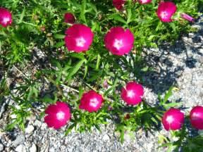 fafardbeguiling rock garden plants fafard