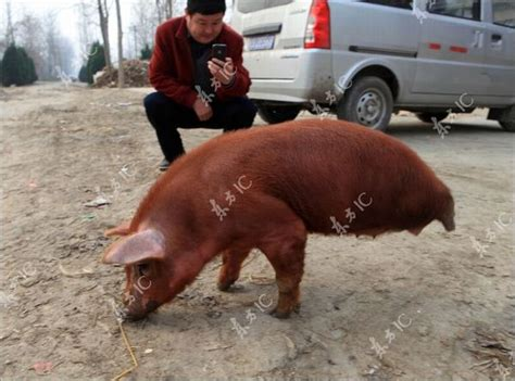 walking on two legs disabled pig learned to walk on two legs 12 pics