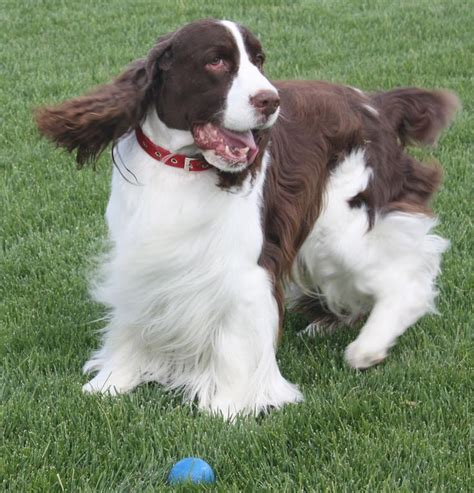 Do Springer Spaniels Shed by 17 Best Images About Cocker Spaniel Shedding Dogs On