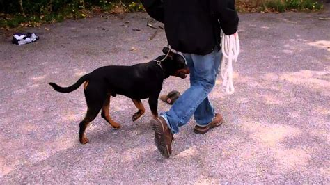 staffordshire bull terrier rottweiler cross rottweiler cross staffordshire bull terrier basics establishing