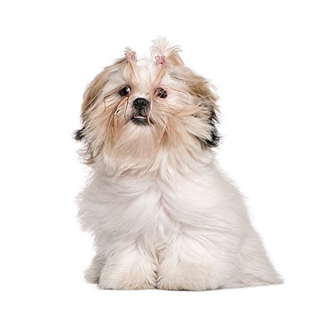 shih tzu rate shih tzu see description and pictures of this breed dogsuniverse co nz