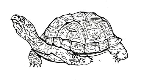 land turtle coloring page eastern box turtle illustration and design