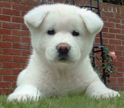 puppies for sale virginia akita puppies for sale in virginia