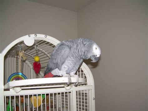 parrot african grey for sale adoption from san fernando
