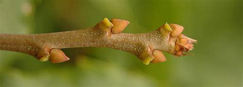 Images Of Plants American Chestnut Oregon State Univ Landscape Plants