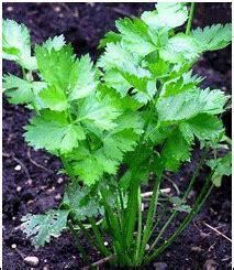 Benih Sayur Seledri budidaya tanaman seledri petani hebat