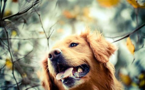 dog wallpaper high quality puppies 10487 wallpaper walldiskpaper perro golden retriever fondos hd