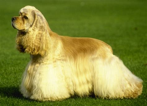 Spaniel Shedding by Spaniel Breeds That Dont Shed Breeds Picture