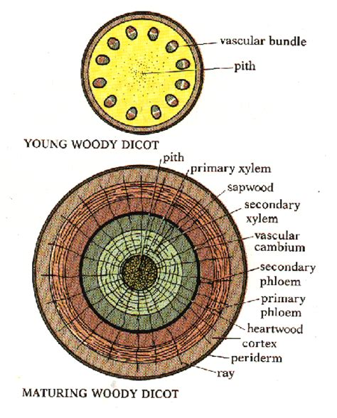 woody dicot stem cross section botony test 3 review stems at northwest florida state