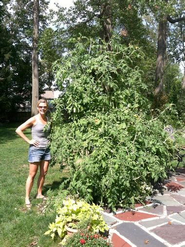 lakewood resident shows  giant tomato plant share