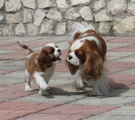 st charles puppy and child st charles cavalier and dogs