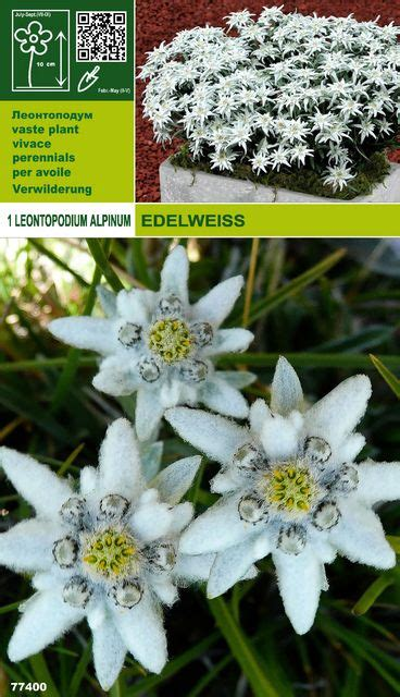 leontopodium alpinum edelweiss  pflanzen