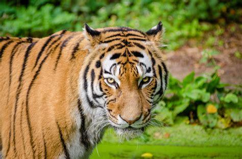imagenes de tigres verdes siberische tijger canvas siberische tijger poster of