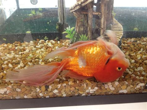 what is swim bladder disease and how is it treated petcha