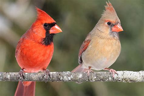 northern cardinal facts information american expedition