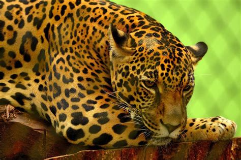 imagenes del jaguar animal por que animais da 193 frica e da am 233 rica do sul s 227 o t 227 o