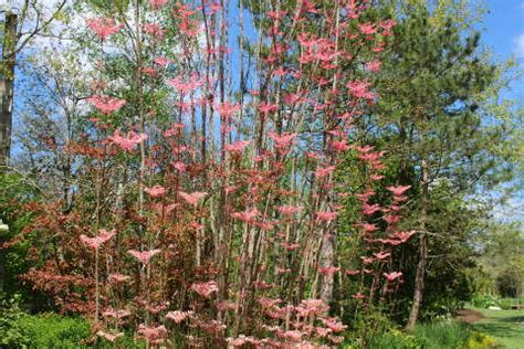 toona sinensis flamingo is an incredible tree with bright pink leaves