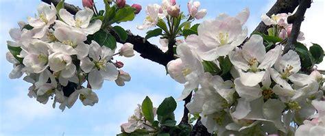 wann apfelbaum pflanzen apfelbaum pflanzen apfelbaum pflanzen so geht 39 s garten