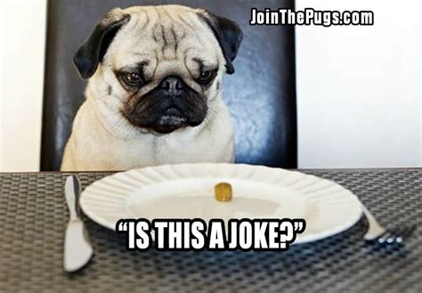 pug food join the pugs gt pug is not amused