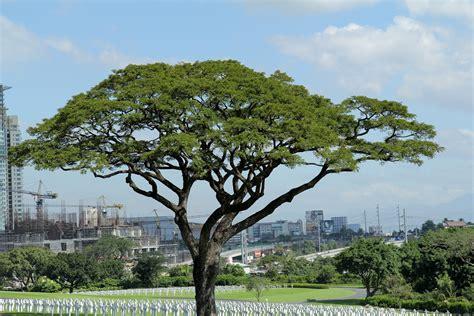 type of tree manila city tour catholic student leadership