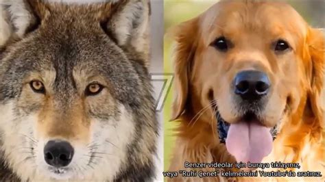 difference between wolves and dogs the differences between dogs and wolves k 246 pekler ve kurtlar arasındaki 10 ilgin 231