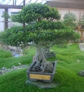 culture et entretien des bonsa 239 petits arbres japonais