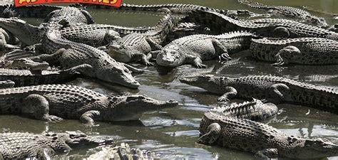 Crocodile Farm Tours At Hartley's Crocodile Adventures Cairns