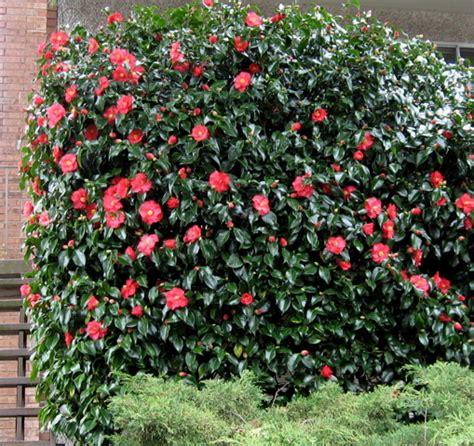 seattle garden ideas comely camellias