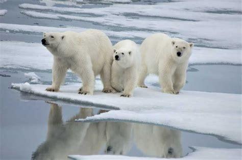 oso polar oso polar osos polares caracter 237 sticas peso h 225 bitat alimentaci 243 n osos10 com