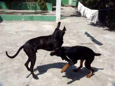rottweiler and great dane great dane vs rottweiler
