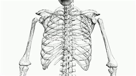 rotation   skeletonribschestanatomyhumanmedical