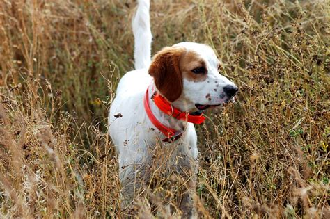 best bird dogs best bird dogs breeds picture