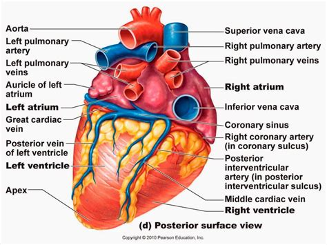 cardiac diagram detailed diagram of the images