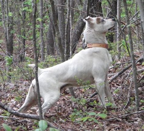squirrel puppies for sale mountain cur puppies for sale squirrel dogs mountain cur puppies breeds picture