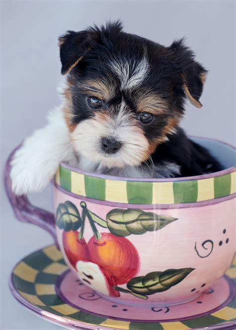 biewer yorkie florida biewer yorkie puppies for sale florida teacups puppies boutique