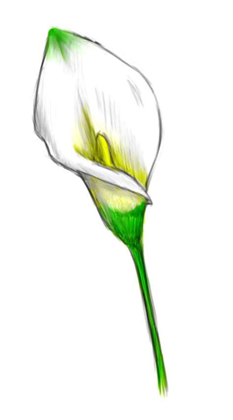 calla lily with color by sengryu on deviantart