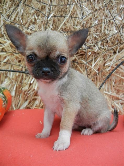 shichi puppies 10 best images about shichi on chihuahuas shih tzu mix and chihuahua dogs