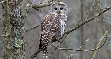 barred owl life history all about birds cornell lab of