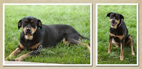 rottweiler chihuahua mix grown german shepherd rottweiler mix grown she is a german shepherd mix breeds