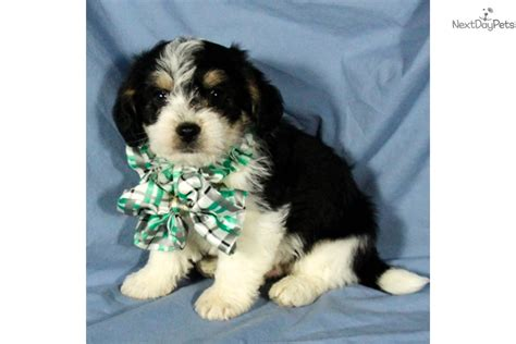 dogs for sale in oklahoma beagle puppies for sale in tulsa breeds picture
