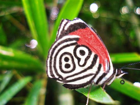 imagenes mariposas raras la mariposa 88 y en muy raras ocasiones 89 hay unas 165