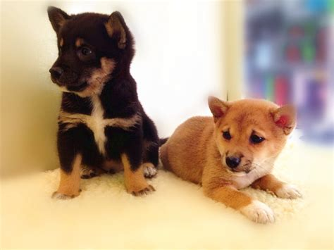 shiba inu puppies for sale in ma shiba inu mix puppies for sale images