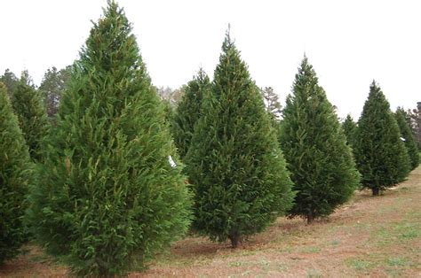 will tree farm tree farm ga 28 images collections of tree farms easy