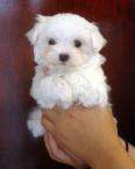 free puppies okc teacup maltese puppies for free adoption memes