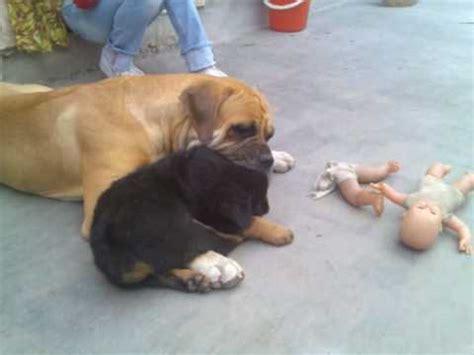rottweiler vs bullmastiff rottweiler vs bullmastiff