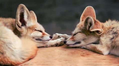 Baby Fennec Fox Wallpaper - 13 excellent hd fennec fox wallpapers