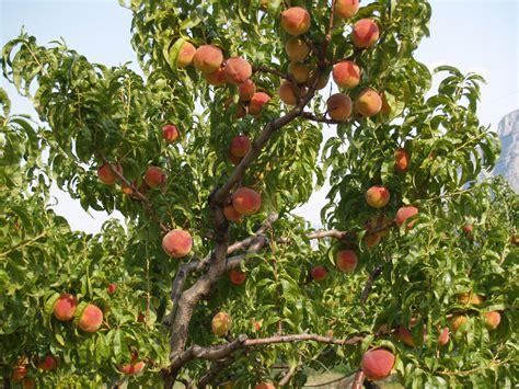 organic fruit trees blush organic orchard in keremeos bc visit us this