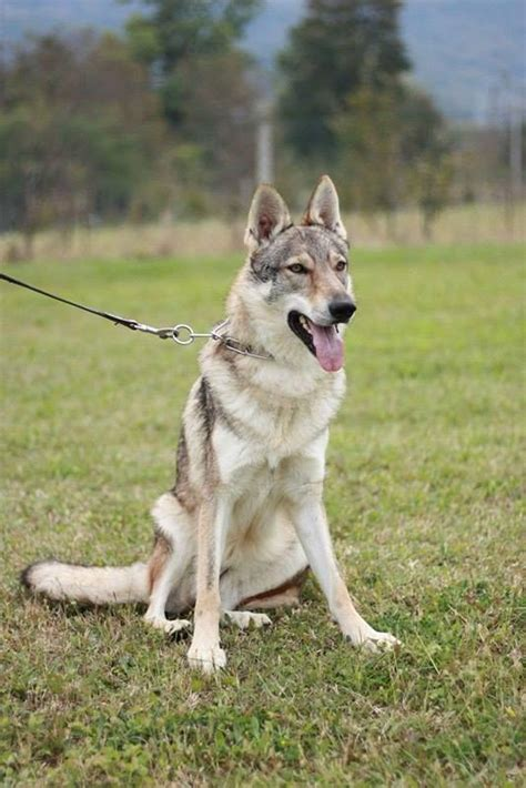 czechoslovakian wolfdog puppies for sale puppies for sale czechoslovakian wolfdog dogshows